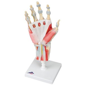 3B Hand skelet