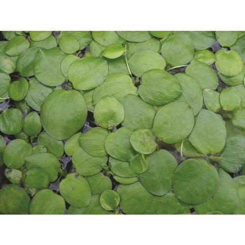 Bakje Limnobium Leavigatum (Amazone Kikkerbeet) 3 stuks   Aquariumplant