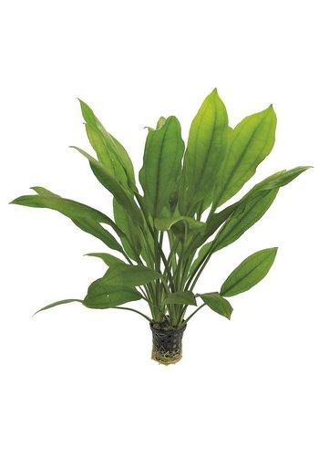 Echinodorus Bleheri 5 cm Pot