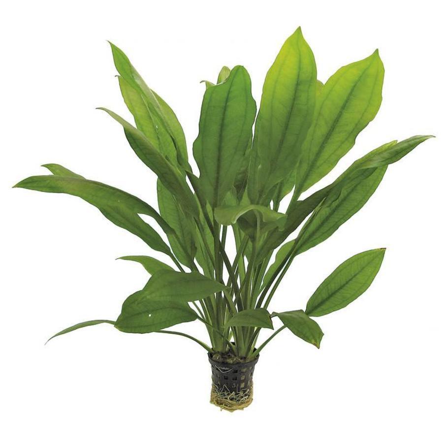Echinodorus Bleheri 5 cm Pot-1