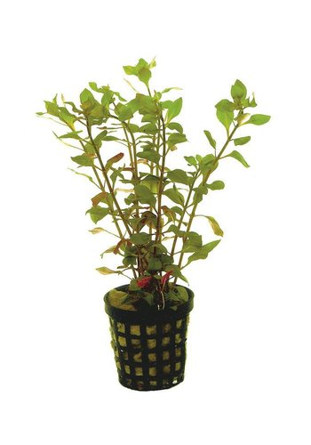 Ludwigia Palustris Rood 5 cm Pot