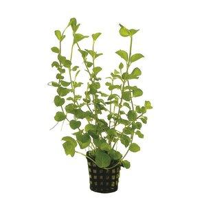 Lysimachia Nummularia Aurea (Penningkruid) 5 cm Pot
