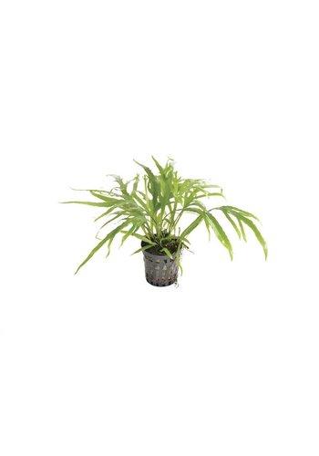 Microsorium Pteropus Trident (Javavaren Trident) 5 cm Pot