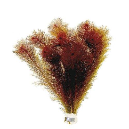 Myriophyllum Matogrossense  (rood) Eco Bos