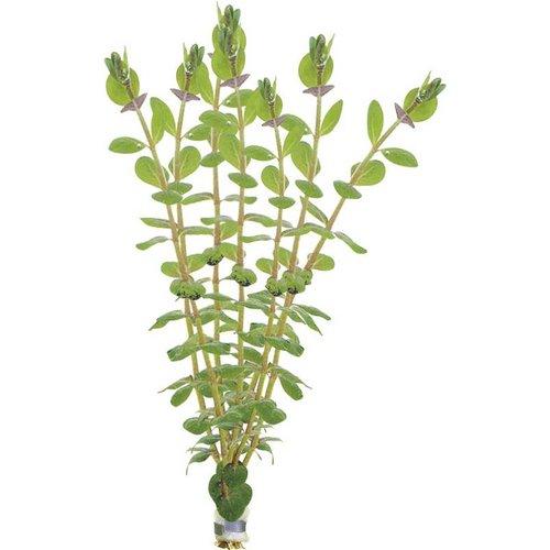 Rotala Rotundifolia Eco Bos