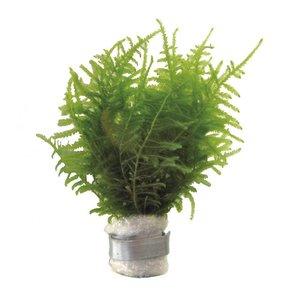 Vesicularia Dubyana  Javamos Eco Bos