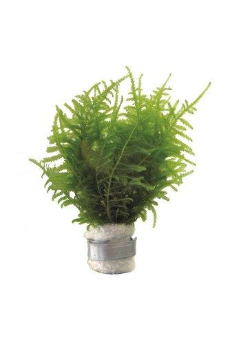Vescularia Dubyana  Javamos Eco Bos
