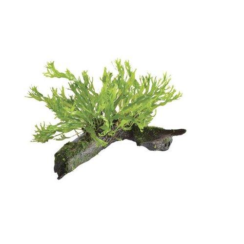 Wood Microsorium (Javavaren) Windelov  Size SS  Aquariumplant op hout