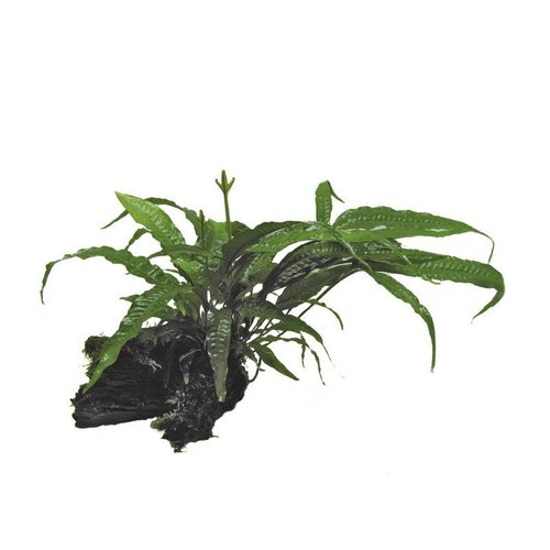 Wood Microsorium (Javavaren) Moss (Javamos) Small
