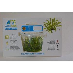 HELANTHIUM TENELLUM EASY GROW NR 5