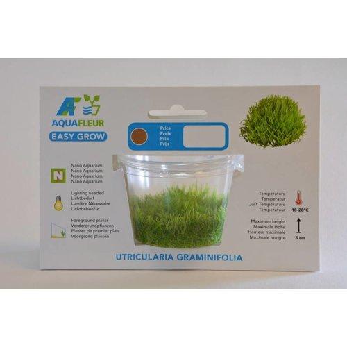 URTICULARIA GRAMNIFOLIA (UG) EASY GROW NR 12