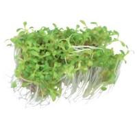 ELATINE HYDROPIPER EASY (GLASKROOS) GROW NR 19