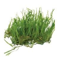 VESICULARIA RETICULATA (ERECT MOSS) EASY GROW NR 18