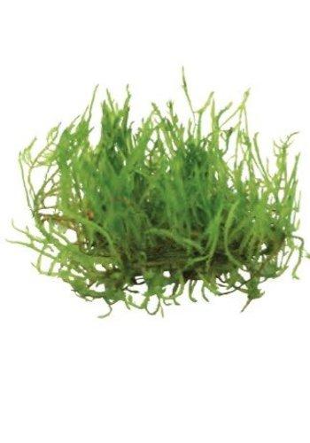 Taxiphyllum Sp. Spiky  (Spiky moss) Easy Grow Nr 16