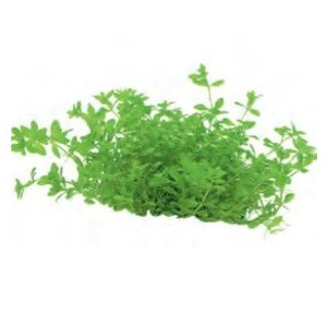 Micranthemum Micranthemoides (Amerikaans parelkruid) Easy Grow nr 7