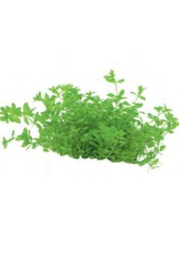 Micranthemum Micranthemoides Easy Grow nr 7