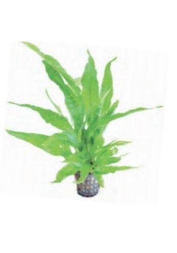 MICROSORIUM PTEROPUS GREENS 5 CM POT