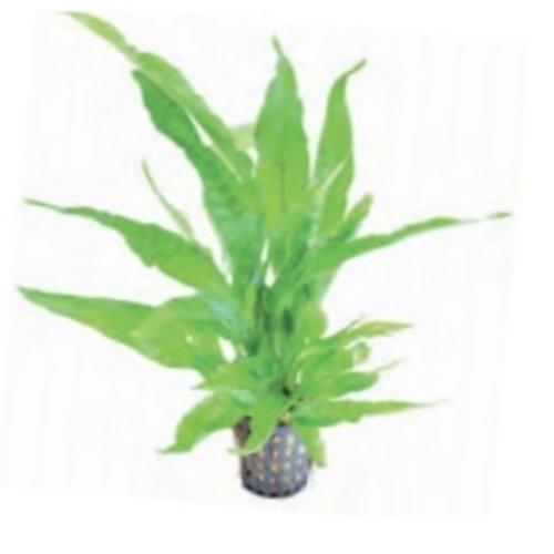 Microsorium Pteropus Greens (Javavaren) 5 cm Pot
