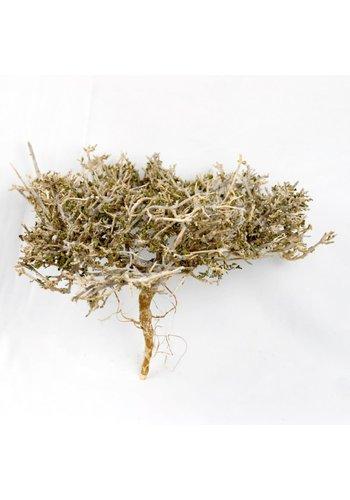 Dry Tree Small ca. 12 cm
