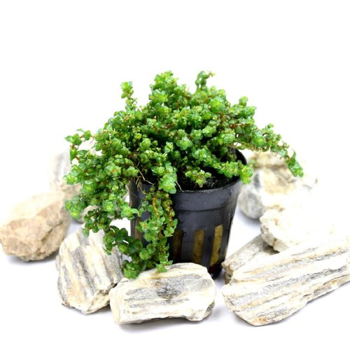 Songrow Rotala Pearl in pot