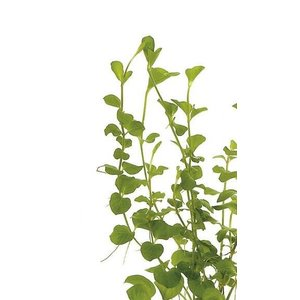 Lysimachia Nummularia Aurea (Penningkruid) Eco Bos