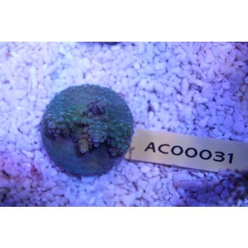 Acropora (WYSIWYG) Frag