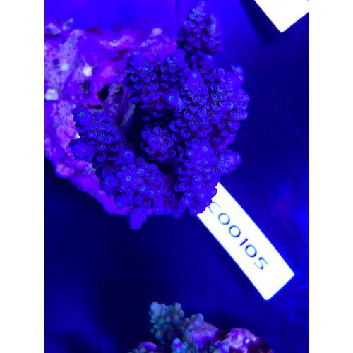 SPS marine culture (ATS) Acropora (WYSIWYG)