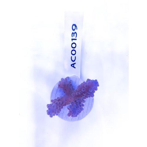Acropora Blue Pearl (WYSIWYG) Frag