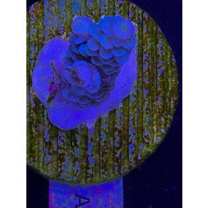 Acropora Walt Disney (WYSIWYG)