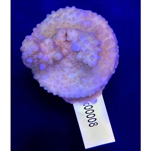 Acropora Coral Sea (WYSIWYG)