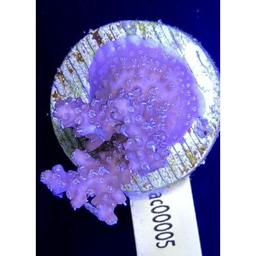 Acropora Pink Hairy (WYSIWYG)