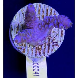 Acropora Blue Hairy (WYSIWYG)