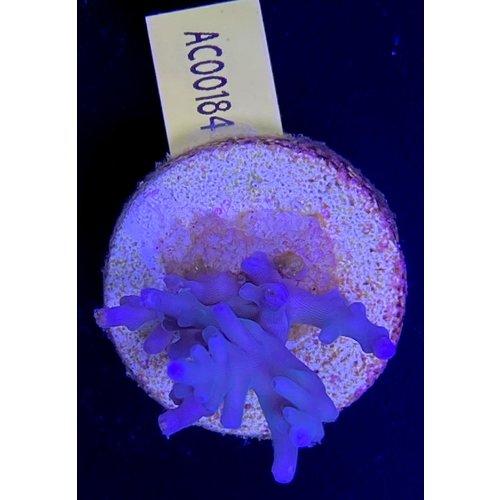 Acropora Echinata Blue (WYSIWYG)