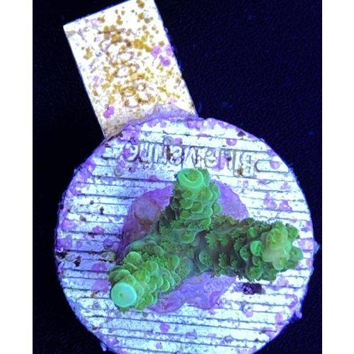 Acropora Formosa green (WYSIWYG)