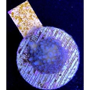 Acropora sp. Coral Sea (WYSIWYG)