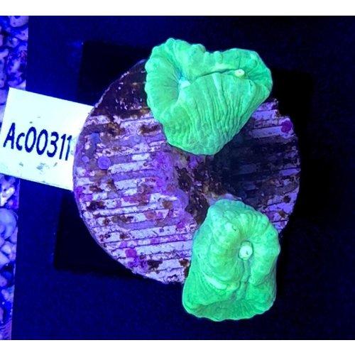 Caulastrea Curvata Green (WYSIWYG)