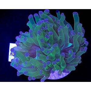Euphyllia Divisa Frogspawn (WYSIWYG)
