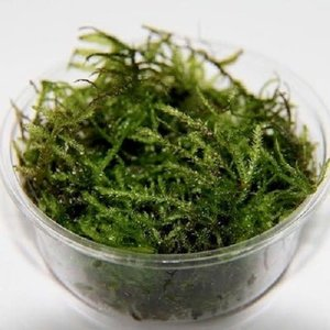 Christmas moss in cup 80cc