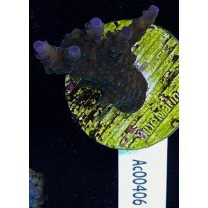 Acropora Valida (WYSIWYG)