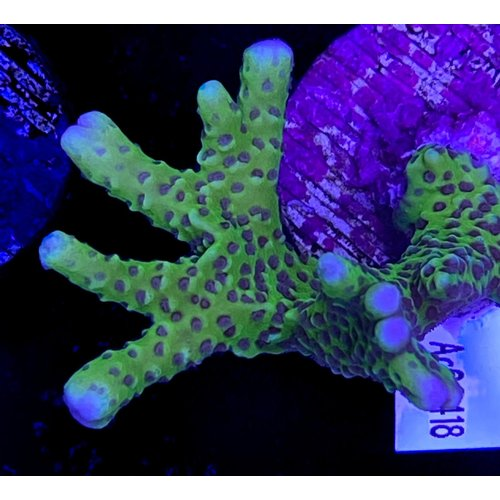 Anacropora Green (WYSIWYG)