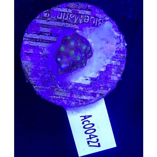 Acropora Tricolore (WYSIWYG)