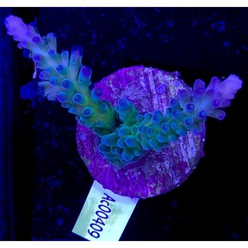 Acropora Gomezi Blue/Green (WYSIWYG)