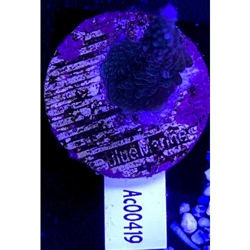 Acropora Blue (WYSWYG)