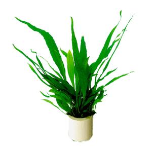 Microsorium Pteropus (Javavaren) Eco Bos