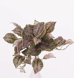"Fittoniabush (Nerve plant,) 37 hojas, ""Self Folding"", 25cm"