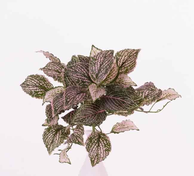 "Fittoniabush (Nerve plant) x37lvs, ""Self Folding"", 25cm"