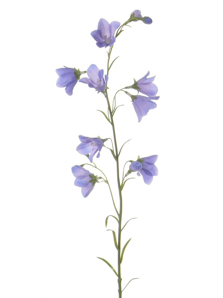 Campanula with 8 flowers, 70cm