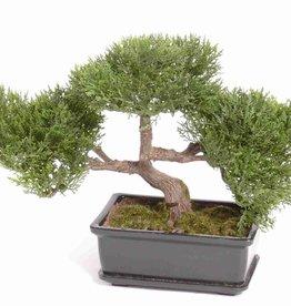 Bonsai cedro x113h, alt23cm, juego 10cm