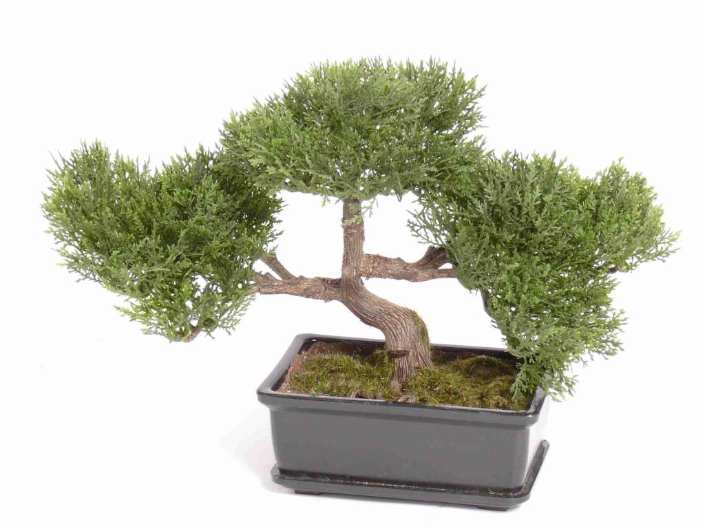 Bonsai ceder 113 Bl., H: 23cm/10cm