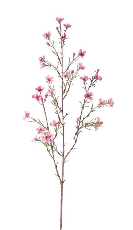 "Wachsblume (waxflower) ""de Luxe"", x26Blm 78cm"